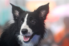 A border collie dog looking at an object of interest. A photo taken on a border collie dog looking at an object of interest stock image