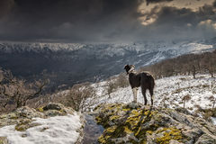 Border Collie dog looking out over snow covered mountains Royalty Free Stock Image
