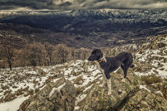 Border Collie dog looking out over snow covered mountains Royalty Free Stock Photography