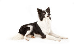Border Collie Dog Looking Up Royalty Free Stock Image