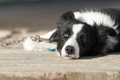 Border collie dog looking at you. Chained border collie dog looking at you in a farm Royalty Free Stock Photos