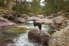 Border Collie Dog in looks at Genoese bridge Royalty Free Stock Photography