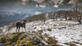 Border Collie dog looks at snow covered mountains Royalty Free Stock Images