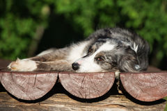 Border collie dog lying down outdoors Stock Photography