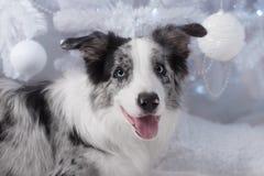 Border collie dog lying down on white Christmas Stock Image