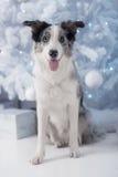 Border collie dog lying down on white Christmas Royalty Free Stock Photo