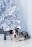 Border collie dog lying down on white Christmas Stock Photos