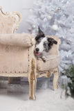 Border collie dog lying down on white Christmas. Lights looking hopeful wishful believing celebratory concerned royalty free stock image