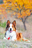 Border collie dog lying on a grass in autumn time. Border collie puppy lying on a grass in autumn time Royalty Free Stock Image