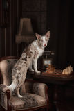 Border collie dog merle color in interior studio Royalty Free Stock Image