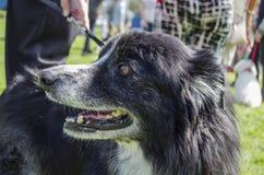 Border Collie Dog. Old Border collie dog at fun dog show Royalty Free Stock Photo