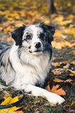 A Border Collie dog outdoors in the autumn park. Royalty Free Stock Photo
