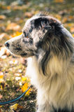 A Border Collie dog outdoors in the autumn park. Royalty Free Stock Photos