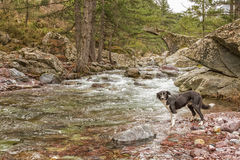 Border Collie dog paddles in river by bridge Royalty Free Stock Image