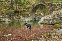 Border Collie dog paddles in river by bridge Stock Photos