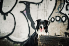 Border collie dog Royalty Free Stock Photos