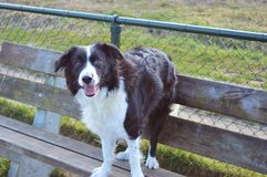 Border collie dog Royalty Free Stock Photo