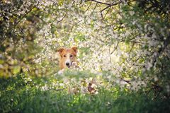Border collie dog portrait in spring Royalty Free Stock Photography