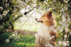 Border collie dog portrait in spring Stock Photography