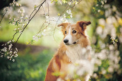 Border collie dog portrait in spring Stock Photos