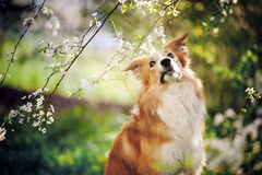 Border collie dog portrait in spring Royalty Free Stock Image