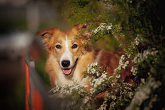 Border collie dog portrait in spring Stock Image