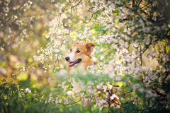 Border collie dog portrait in spring Stock Photo