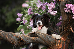 Border collie dog portrait Royalty Free Stock Photography