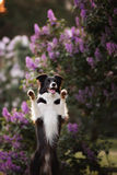 Border collie dog portrait Royalty Free Stock Photo