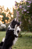 Border collie dog portrait Royalty Free Stock Image
