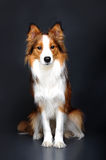 Border collie dog portrait on dark background Royalty Free Stock Photo