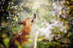 Border collie dog portrait looks up in spring stock image