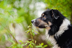 Border collie dog portrait Royalty Free Stock Images
