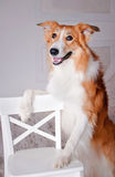 Border collie dog portrait in studio Royalty Free Stock Image