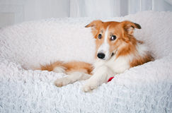 Border collie dog portrait in studio Stock Photography