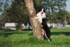 Border collie dog posing by a tree. Black and white border collie dog outdoors Stock Image