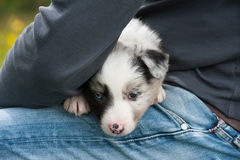Border collie dog Royalty Free Stock Images