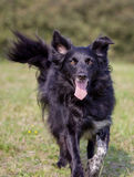 Border Collie Dog. Purebred dog outdoors on a sunny summer day Stock Photos