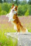 Border collie dog rearing up on the stone Stock Image