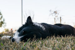 Border Collie dog resting on the grass and looking to the camera Royalty Free Stock Photo