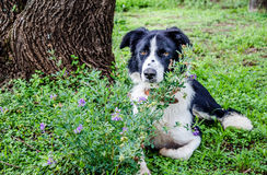 Border Collie dog resting under tree next to purple flowers and Royalty Free Stock Photography