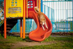 Border Collie dog riding on the playground Stock Photo