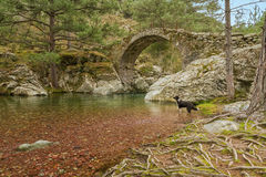 Border Collie dog in river by Genoese bridge Royalty Free Stock Photos