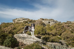Border Collie dog on rock amongst maquis in Corsica Royalty Free Stock Photos
