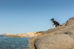 Border Collie Dog on rocky outcrop on coast of Corsica Stock Image
