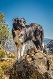 Border collie dog on rocky outcrop in Corsica Stock Images
