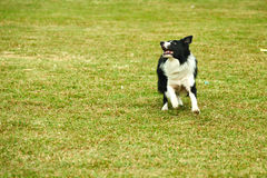Border collie dog running stock photography