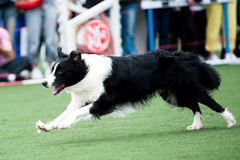 Border Collie dog running Stock Photos