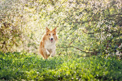 Border collie dog running in spring Stock Photo