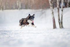 Border collie dog running in winter Royalty Free Stock Photography